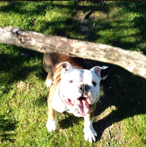 cachorro-bulldog